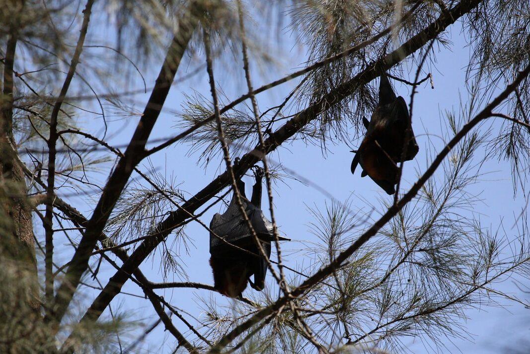 木にぶら下がるコウモリ